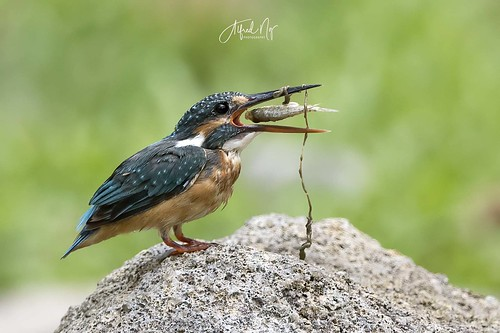 Common Kingfisher | by alf626