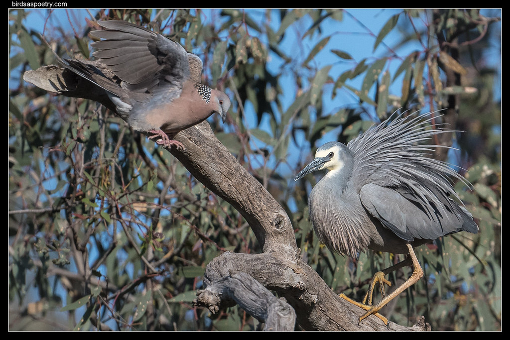 White-faced Heron: Not on my Tree you Don't