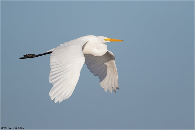 Great Egret Flying By.