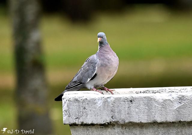 Pigeon Ramier (Palombe)