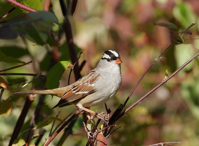 Bruant à couronne blanche _ White-crowned Sparrow