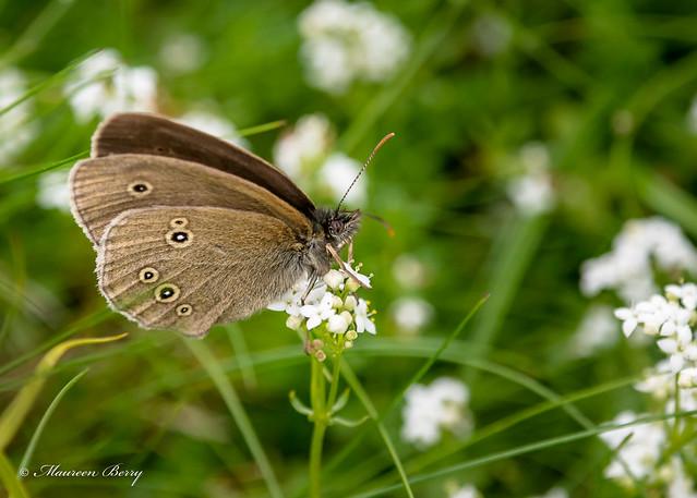 Ringlet Butterfly 06-Jul-19 M_003