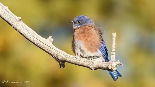 birds bluebirds brycecanyonnationalpark sialiamexicana sunrisepoint thrushes utah westernbluebird bryce unitedstatesofamerica depthoffield