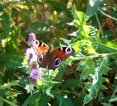 Peacock butterfly lands on a thistle