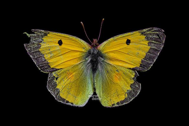 azamet kelebeği 28