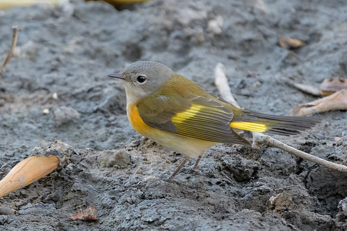 americanredstart avian bird birds california ebrpd eastbayregionalparks nature outdoors pointpinole pointpinoleregionalshoreline ptpinole warbler wildlife ebparksok parulineflamboyante setophagaruticilla ebird