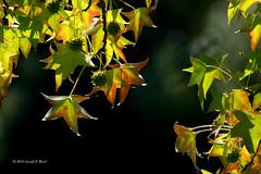 leaves 7165