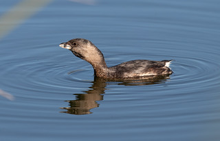 Pied-billed Grebe | by Laura Erickson