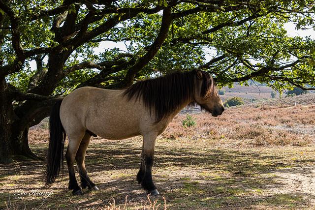 Icelandic Horse | IJslandse paard | Posbank