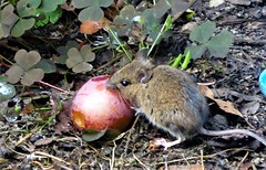 The mouse and the plum