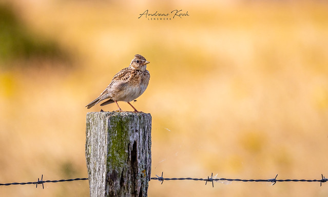 Haubenlerche | Crested lark