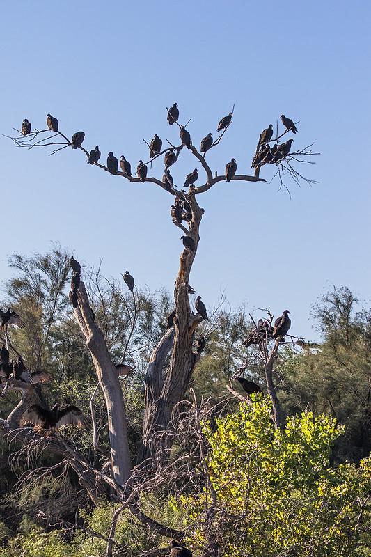 Old-Buzzard-Tree-43-7D2-100919