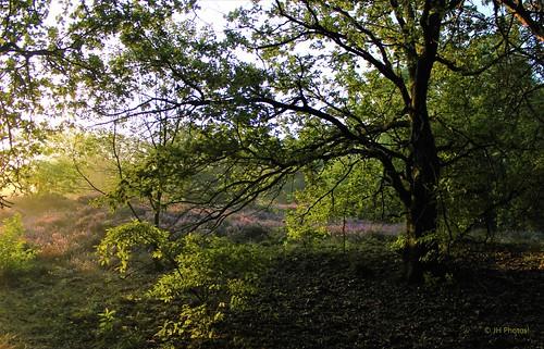 canon600d canon beautiful morning dawn daybreak sunrise trees tree forest heather purple green haze netherlands nederland niederlande paysbas limburg summer nature naturelovers landscape landschap landschaft landscapelovers outdoors