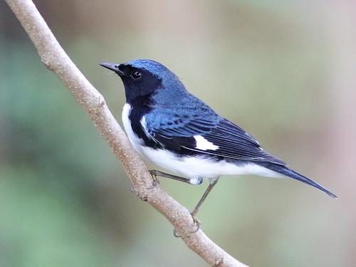 Black-throated Blue Warbler male 01-20191009
