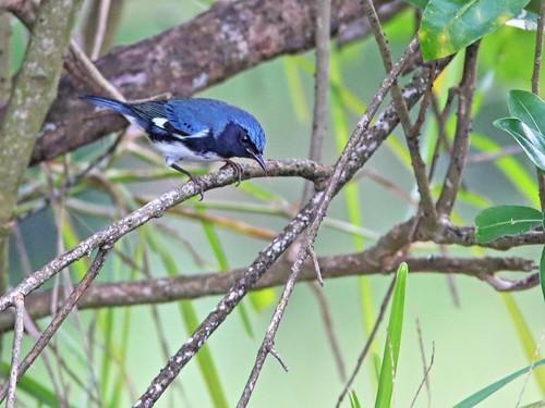 Black-throated Blue Warbler male 092-20191009