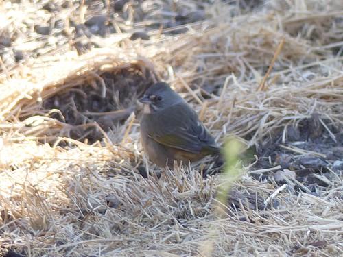 Green-tailed Towhee Sedgwick