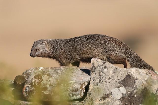 Saca-rabos, Egyptian mongoose.  (Herpestes ichneumon)