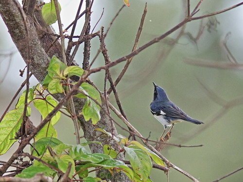 Black-throated Blue Warbler male 091-20191009