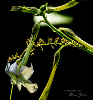 Daly Lily
