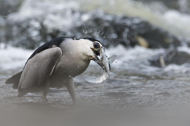 Ślepowron/Night heron #3