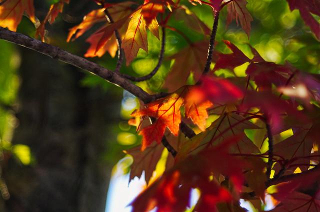 turning maple