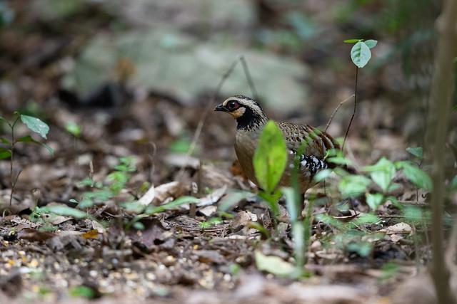 Bar-backed Partridge - Arborophila brunneopectus