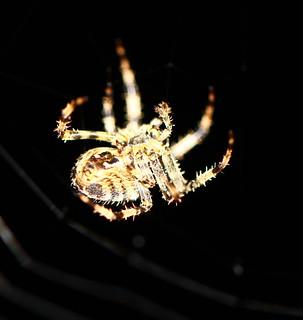Orb-Weaver Spider(Araneus diadematus)