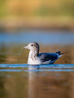 More Gulls