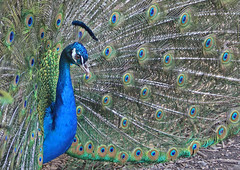 Peacock 007