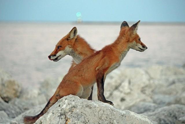 Ying Yang Foxes