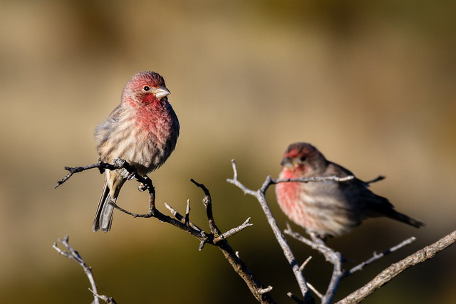 House Finch (Haemorhovus mexicanus) Male