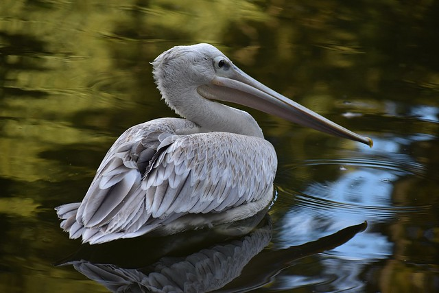Pink-backed Pelican Daydreams