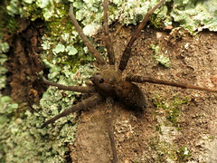 Banded Fishing Spider
