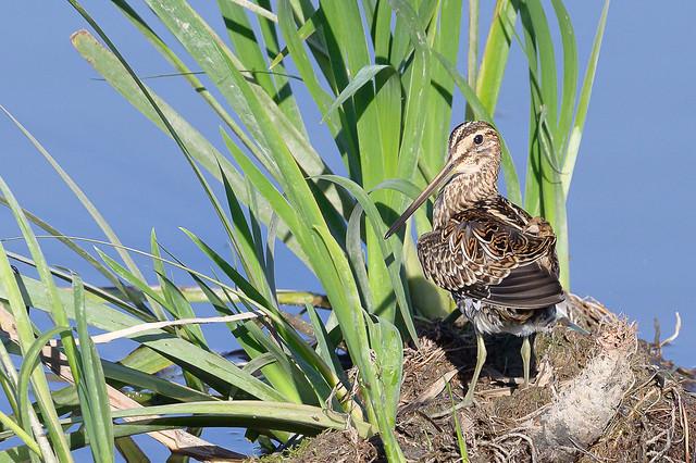 Becadell - Bécassine des marais - Gallinago gallinago - Common snipe