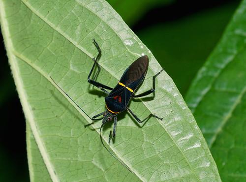 Leaf-footed Bug —-  Tribe Anisoscelini