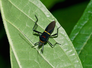 Leaf-footed Bug —-  Tribe Anisoscelin , genus Phthia