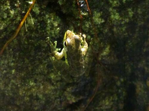 Palawan rock frog (Staurois nubilus)