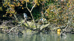 Can't see you (three herons, West Park)