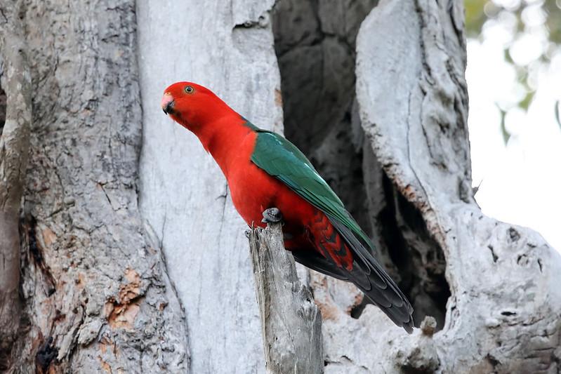 Australian king parrot, male