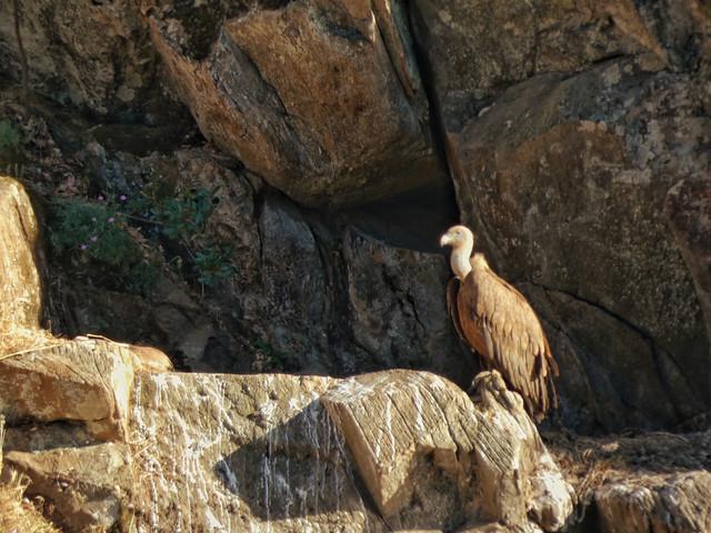 Buitre leonado en el Parque Natural Tajo Internacional