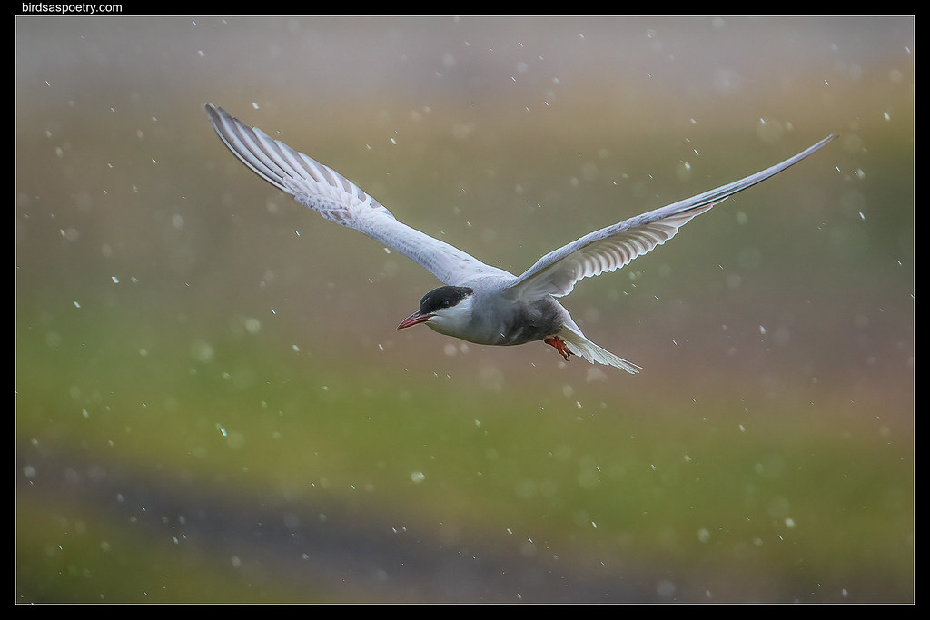 Whiskered Tern: The Work goes On