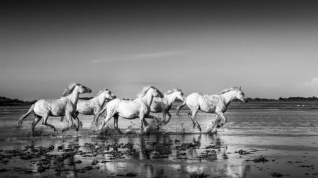 chevaux de camargue bw-9627