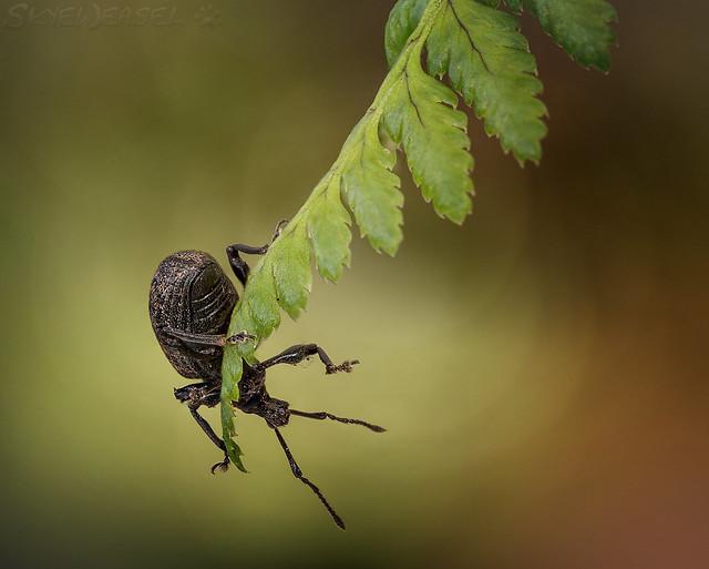 Weevil Knievel