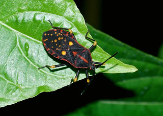 Leaf-footed Bug — Sephina sp