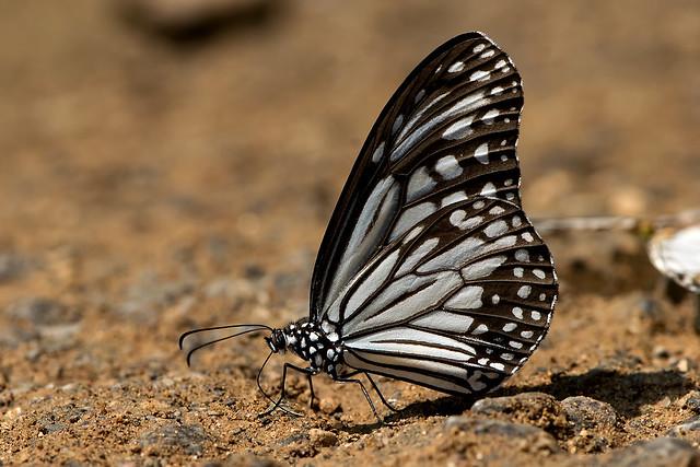Parantica aglea - the Glassy Tiger