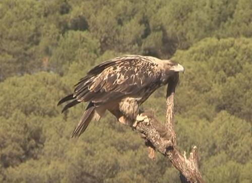 Fotograma de un águila imperial ibérica