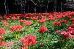Red & Green  (由  *suika *