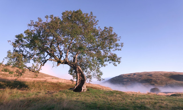 Misty Morning at the Frandy Tree 2