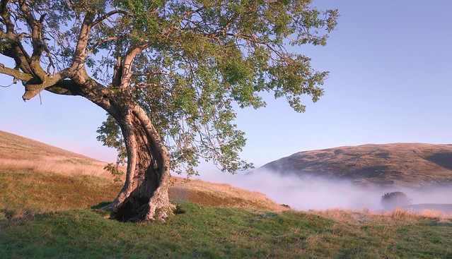 Misty Morning at the Frandy Tree 1