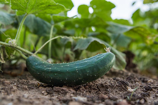 Close-up of a cucumber on the dirt